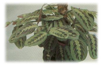 Le piante di giorgi garden maranta for Maranta pianta